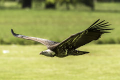 Ruppell`s griffon vulture Gyps rueppellii flying Stock Photography