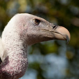 Ruppell's Griffon Vulture Stock Photography