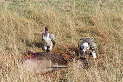 Ruppell's Griffon Vultures feeding. On fresh wildebeest in the Masai Mara Stock Images