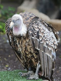 Ruppell's (Ruppells) Griffon Vulture (Gyps rueppellii) sitting. Royalty Free Stock Photography