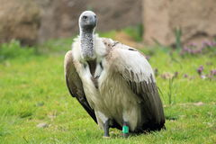 Ruppell's Vulture Stock Image