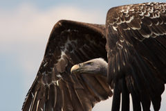 Ruppell's Vulture in flight Stock Photography