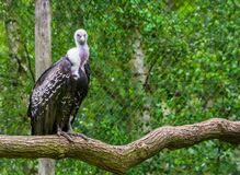 Ruppells vulture sitting on a branch and looking in the camera, critically endangered scavenger bird specie from Africa. A Ruppells vulture sitting on a branch royalty free stock image