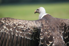 Ruppell vulture Stock Image
