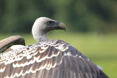 Ruppell vulture Stock Photos