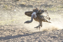 Ruppells Griffon Vulture, das auf den Sand durch den Fluss aufprallt Stockbild