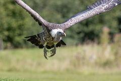 Ruppells Griffon vulture flying head on. Close up of African sca Royalty Free Stock Photos