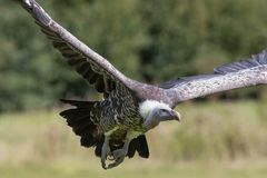 Ruppells Griffon vulture Gyps rueppelli flying. African endang Royalty Free Stock Images