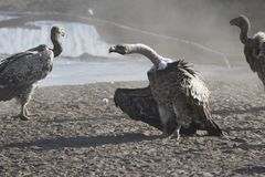 Ruppells Griffon Vulture that stands on a sandy creek beach in t Stock Image