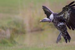 Ruppells gryfonu sępa lądowanie na obszar trawiasty równinach Zdjęcie Stock