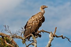 A Ruppells (Ruppells) Griffon Vulture sitting on tall tree in masai mara Royalty Free Stock Images