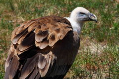 Ruppells Vulture Stock Image