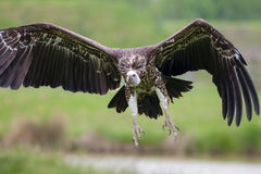 Ruppells vulture flying. Close up of scavenger bird in flight. Royalty Free Stock Photography