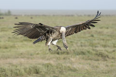 A Ruppells Vulture landing, Tanzania Royalty Free Stock Image