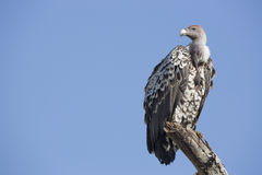 A Ruppells Vulture perched on a branch, Tanzania Stock Photography