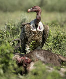 Ruppells Vulture standing in front of a prey, Serengeti Stock Image