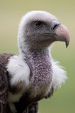 Ruppels Vulture. Vulture in front of a green background Royalty Free Stock Photos