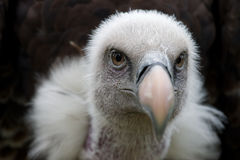 Ruppels Vulture. Vulture in front of a black background Stock Photos
