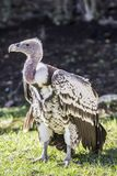 Rupples Griffon Vulture, a threatned species. Rupples griffon vulture from the Sahel region of Africa and a threatened species Stock Photos
