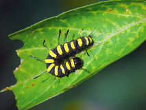 Rupsband van alni van vlinderApatele. Stock Foto