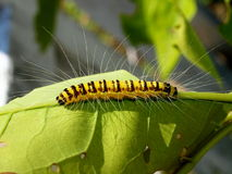 Rupsband van de tropische vlinder, Vietnam Stock Afbeeldingen