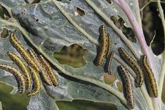 Rupsbanden die plantaardig blad eten Stock Afbeeldingen