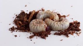 Rupsworm of van de kokosnotenrinoceros de kever oryctes rinoceros is gevaarlijk insectongedierte met boom Keverworm voor het eten stock footage