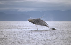 Ruptura da baleia Fotografia de Stock Royalty Free