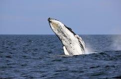 Ruptura da baleia de Humpback Imagens de Stock Royalty Free
