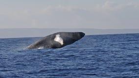 Ruptura da baleia de Humpback Muito raro vídeos de arquivo