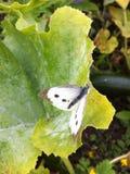 Ruptura da borboleta Fotografia de Stock Royalty Free
