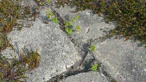 Ruptura das plantas novas através do concreto fotos de stock royalty free