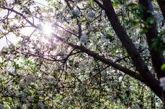 Rupturas da luz solar através dos ramos de árvore de florescência da maçã na mola fotos de stock