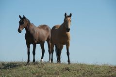 Rural. A mare and gelding on a dam bank Royalty Free Stock Photography