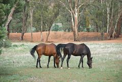 Rural. A mare and gelding in a grass pasture Royalty Free Stock Photos