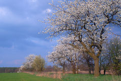 Rural alley with flowering trees Stock Images
