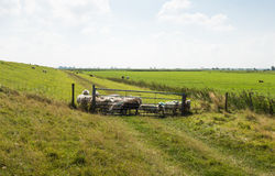 Rural area in summertime with sheep behind a fence Stock Photo