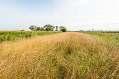 Rural area with very tall yellowed grass Royalty Free Stock Photo