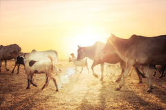 Rural asian landscape with cows and goats at sunset meadow Royalty Free Stock Image
