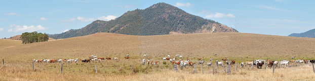 Rural Australia panorama landscape cattle country. Outback rural Australia mountain panorama landscape cattle country cows on ranch and mountain view Royalty Free Stock Image