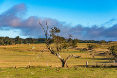 Rural Australian landscape. Pastures in summer with farm animals, green grass, eucalyptus trees and blue sky. Australia, NSW stock images