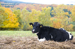 Rural autumn landscape with black cow and colored trees Stock Images
