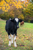 Rural autumn landscape with black and white cow and colored trees Stock Photography