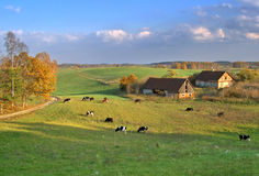 Rural autumn landscape. With farm and cows Royalty Free Stock Photography