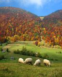 Rural autumn landscape with sheeps. Sheeps in beautiful farmland near autumn hills royalty free stock photos