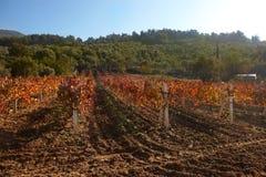 Rural autumn vineyard Royalty Free Stock Photo