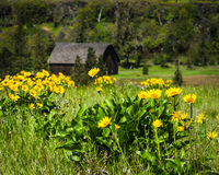 RuraL barn with yellow wildflowers Royalty Free Stock Image