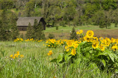 RuraL barn with yellow wildflowers Royalty Free Stock Photo
