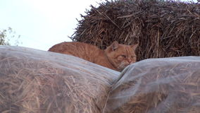 Rural Cat On a Haystack stock footage