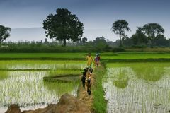 Rural children , monsoon of India. Purulia, West Bengal, Indian - August 13th 2017 : Rural children returning home with their goats after feeding them in the stock photo